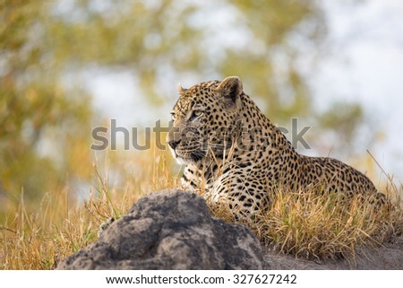 A horizontal, colour photograph of a large leopard, Panthera pardus, resting in dry yellow grass on a rock at Elephant Plains, Sabi Sands Game Reserve, Mpumalanga Province, South Africa. - stock photo