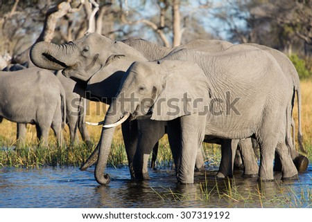 A horizontal, colour photograph of an two elephants, Loxodonta africana, standing in shallow water and drinking with the herd at Kwando Camp, Linyanti Swamp. - stock photo