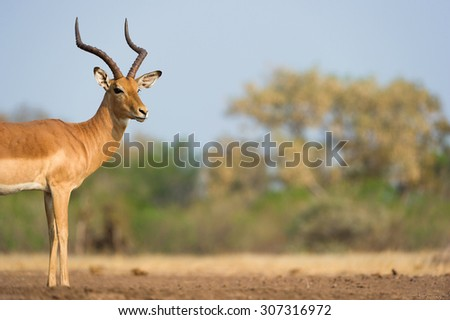 A horizontal, colour photograph with a shallow depth of field of the front half of an impala ram, Aepyceros melampus, in Mashatu Game Reserve, Northern Tuli, Botswana. - stock photo