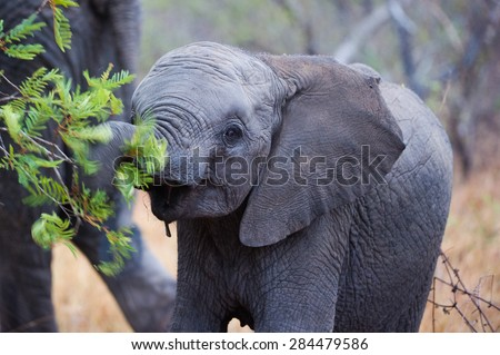 A horizontal, cropped, colour image of an African elephant calf browsing on green leaves. - stock photo