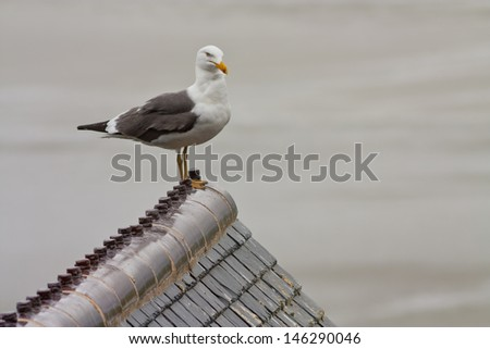 A horizontal photography depicting a watchful seagull looking ahead and resting on a roof top with the sea as background, at Mont Saint Michel, Bretagne, France. - stock photo