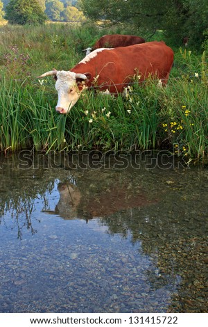 A Horned Hereford cow looking at it's reflection in the still waters of a river. - stock photo