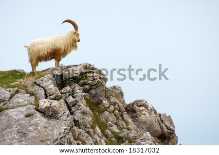 A horned sheep on Great Orme standing on the edge of a rocky outcrop facing the ocean.