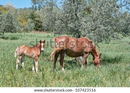 a horse pasture with her ??foal, equus caballus - stock photo