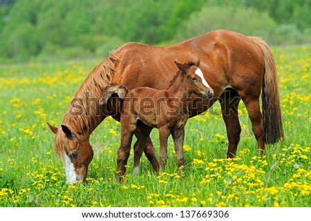 A horse with a calf in the pasture - stock photo