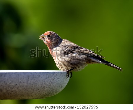 A House Finch drinking while perched on a birdbath with a green background.