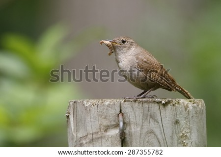 A House Wren (Troglodytes aedon) perches near its nest with a caterpillar in its beak - Grand Bend, Ontario, Canada - stock photo