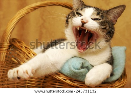 A housecat yawns shortly after waking up from a nap. - stock photo