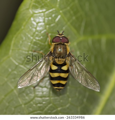 A Hoverfly resting in the sun on a leaf, Cornwall, England, UK. - stock photo