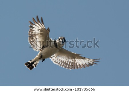 A hovering Pied Kingfisher (Ceryle rudis) stares at the camera - stock photo