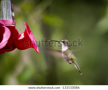 A hovering Ruby-throated Hummingbird at a red feeder against a green background with an extended tongue. - stock photo