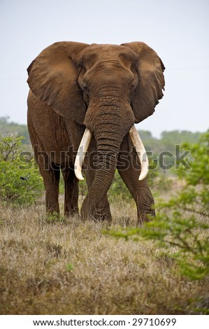 A huge African Elephant stands his ground in an impressive display - stock photo