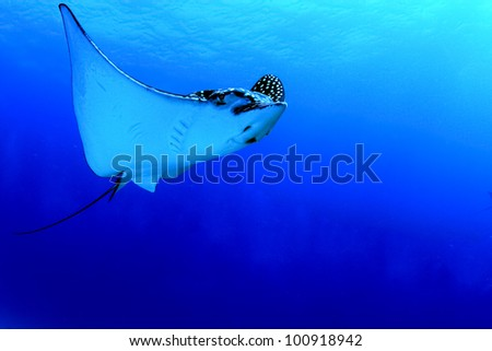 A huge Caribbean spotted eagle ray glides by in Mexico.