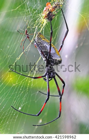 A huge female golden silk orb-weaver spiders, Nephila madagascariensis, with a small male - stock photo