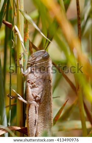 a huge grasshopper basking in the sun over cereal plantation in Tarragona, Spain - stock photo