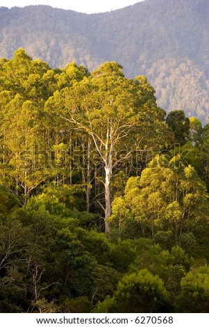 A huge gum tree on a mountain during the afternoon in the australian bush