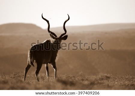 A huge Kudu Bull antelope / deer in this image taken in South Africa - stock photo