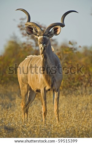 A huge Kudu Bull enjoys the early morning Winter Sun - stock photo