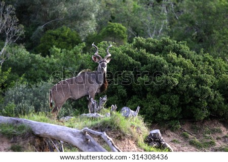 A huge Kudu Bull in this image. Taken on safari in South Africa - stock photo