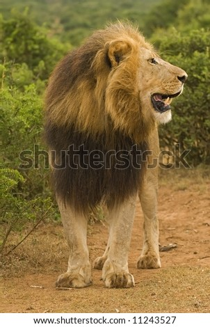 A huge lion listens to a far off Lioness roaring - stock photo