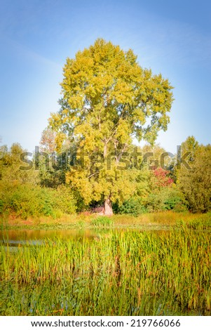 A huge poplar close to the river with reeds at the beginning of autumn. Lush vegetation with green orange and red leaves - stock photo