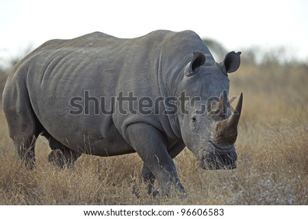 A huge Rhino approaches - stock photo