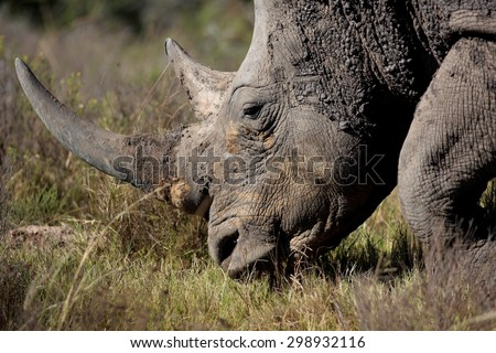 A huge rhino / rhinoceros rests, showing off his huge horn. South Africa - stock photo