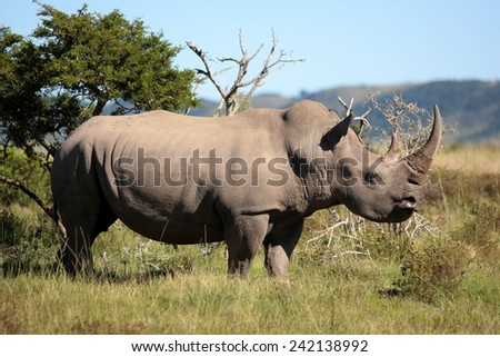 A huge rhinoceros grazing in this image. - stock photo