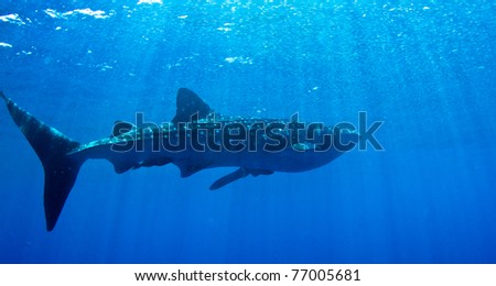 A huge whale shark warms up near the surface in hoduras. - stock photo