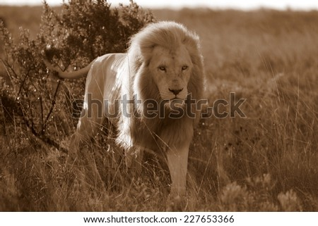 A huge white lion male marking his territory in sepia tone. - stock photo