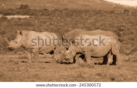 A huge white rhino bull and two cows in this image. - stock photo