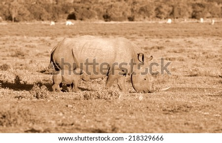 A huge white rhinoceros cow and new born calf in this image.