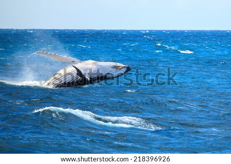 A hump back whale breaching in the Atlantic Ocean - stock photo