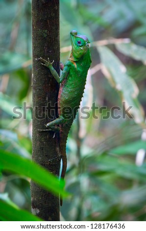 A Hump Nosed Lizard in a tree - stock photo