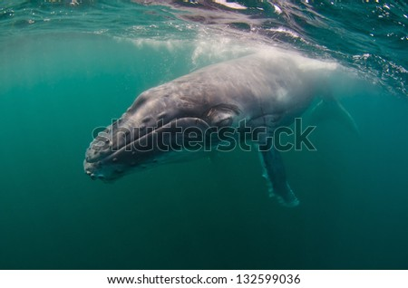 A humpback whale calf swims in the Indian Ocean - stock photo