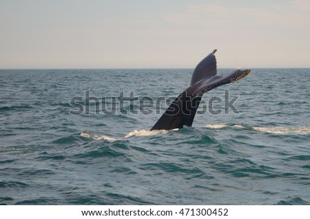 A humpback whale dives deep and shows its tail