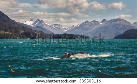 A Humpback Whale going for a dive in Homer, Alaska.  - stock photo