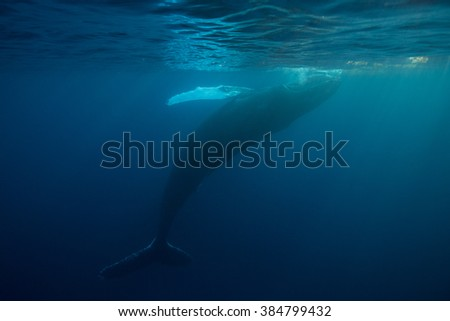A Humpback whale (Megaptera novaeangliae) rolls playfully at the surface of the ocean. This is one of the largest cetaceans, growing to over 45 feet. The species is also quite   acrobatic. - stock photo