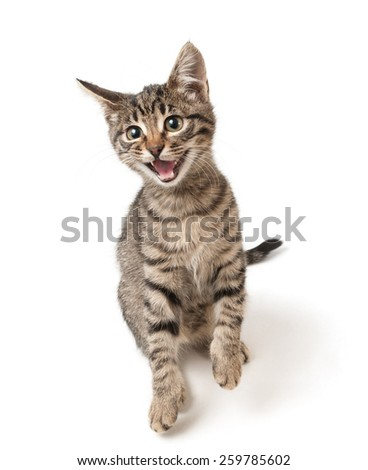 A hungry kitten looks up with the opened mouth