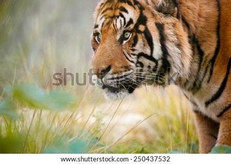 A hungry tiger looking for food - stock photo