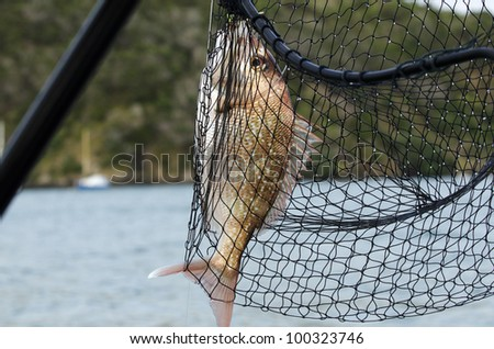 A hunted red Snapper fish inside a hand fishing net at sea. - stock photo