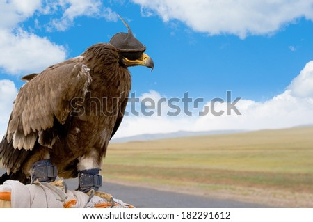 a hunting bird in hood and brail - stock photo