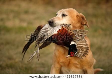Pheasant Hunting Stock...
