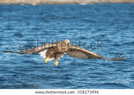 A hunting Norwegian White-tailed Eagle in flight, against a blue sea.