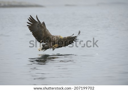 A hunting Sea Eagle glides inches above the water surface on its approach to its prey.