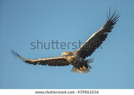 A hunting White tailed Eagle cruising against a cloudless blue sky.