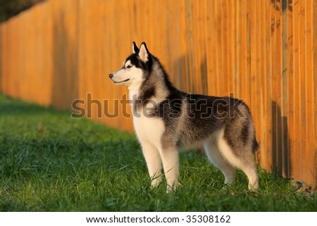 a husky look at me