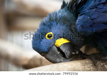 A Hyacinth Macaw rubbing it's beak on a branch. - stock photo
