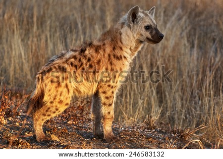 A hyena cub photographed in the high grass of the Kruger National Park - stock photo