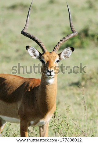 A Impala with beautiful curved horn - stock photo